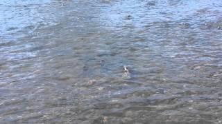 видео: Нерест горбуши. Сахалин.