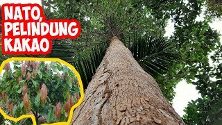 NATO Alternatif Tanaman Pelindung Kakao Bernilai Tinggi   Palaquium sp   Shading tree for Cocoa Farm