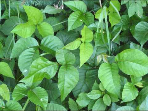 Bio Poison Ivy Plant Project