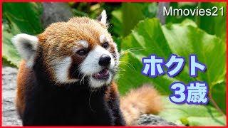 """レッサーパンダ ホクト3歳の誕生日 Red Panda """"Hokuto"""" Birthday"""