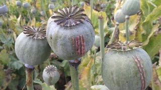 Opium Farming - How do they do it ?