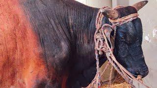এই বছরের সেরা পাগলা গরু ২০২০ || Very Angry Bull of The Year 2020