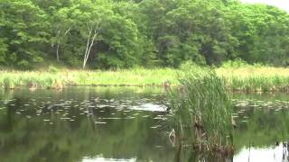 German Shorthaired Pointer Retrieving Duck