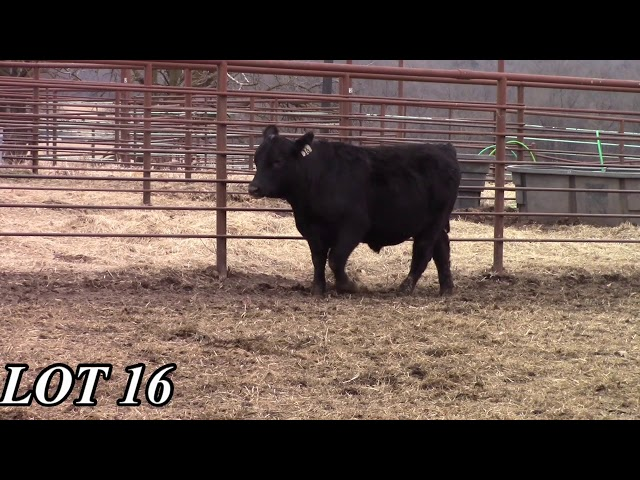 Mead Angus Farms Lot 16