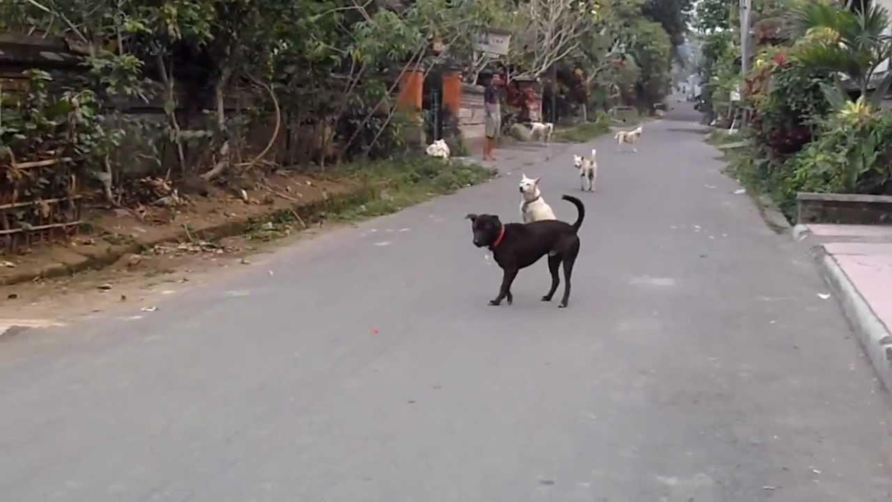 كلاب ضالة في بالي، إندونيسيا