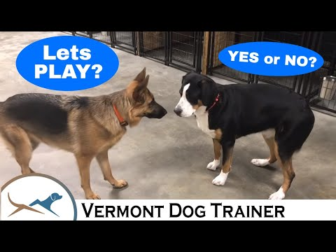 GREATER SWISS MOUNTAIN DOG & GERMAN SHEPHERD INTERACTION