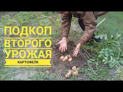 Второй урожай каротофеля на этапе его созревания (укр.)