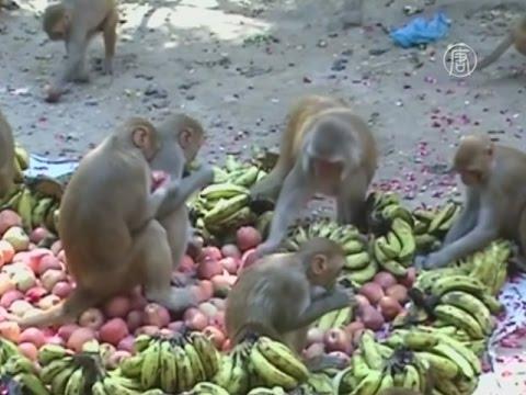 Вопрос: Как называются большие обезьяны в Индии?