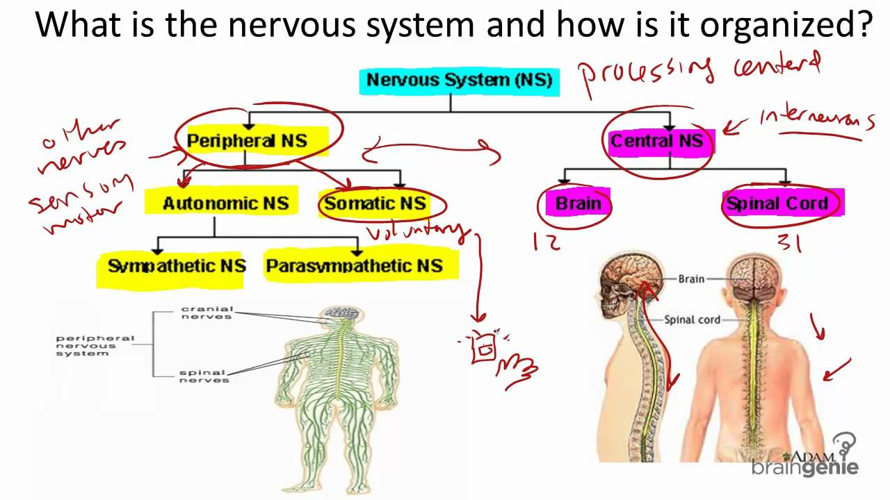 8 1 the nervous system structure and function - youtube, Cephalic Vein