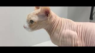 Эндоскопическое удаление полипа желудка у кошки.