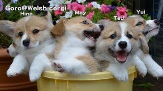 Name Of 20130720 Part 6 Cute Corgi Puppies / コーギー子犬 ひとやま下さい!!