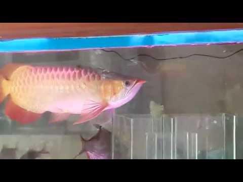 ปลามังกรแดงพาฝัน4x100 หางเพชร