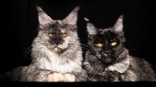 Maine Coon sisters Yakuza and Yuki