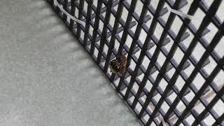 從結蛹到羽化, 大約10~12天, 毛毛蟲結蛹幾乎都選在入夜至半夜這段期間(...