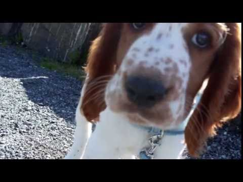 Heidi Spinnvill - The Life of a Welsh Springer Spaniel