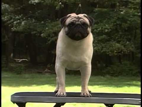 Pug - AKC Dog Breed Series