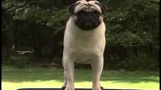 Pug - Akc Dog Breed Series
