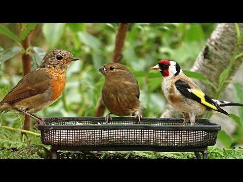 Relaxing Summer Birds - Video, Birdsong and Sounds