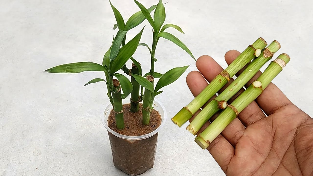 How to grow cutting plants faster in sand | Grow lucky bamboo from cuttings