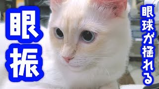 【猫の眼振・眼球振盪】目がプルプル揺れる・震える…!?白内障や脳腫瘍にも注意な症状【しろがね】