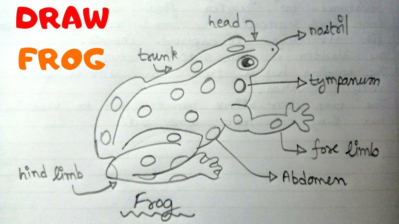 How To Draw A Frog Very Simple Easy Labelled Diagram Of Frog Biology Diagram Youtube