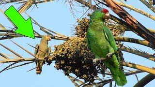 Türkiye'nin Yeşil Papağanları İskender Papağanı Amazon Papağanı