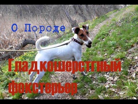 О породе собак Гладкошерстный Фокстерьер #1