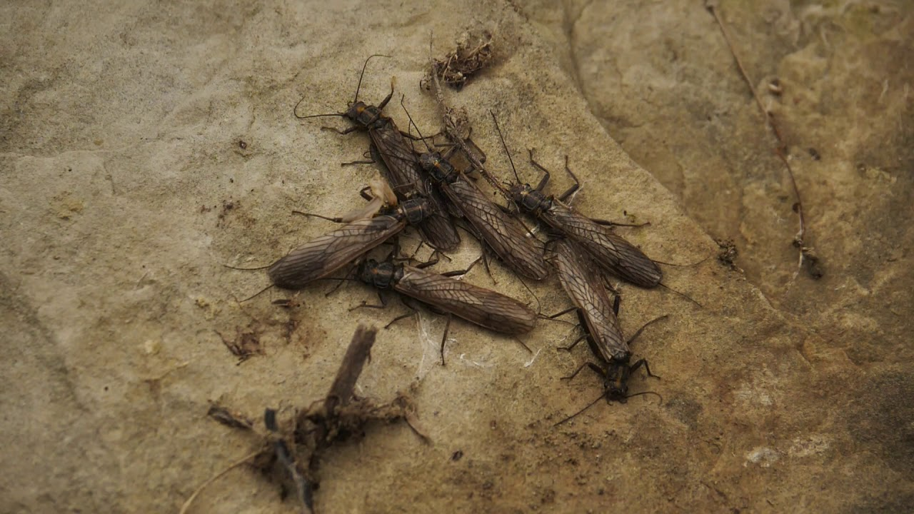 07be04e1b7 Master Class Monday: How to Predict a Stonefly Hatch - Orvis News
