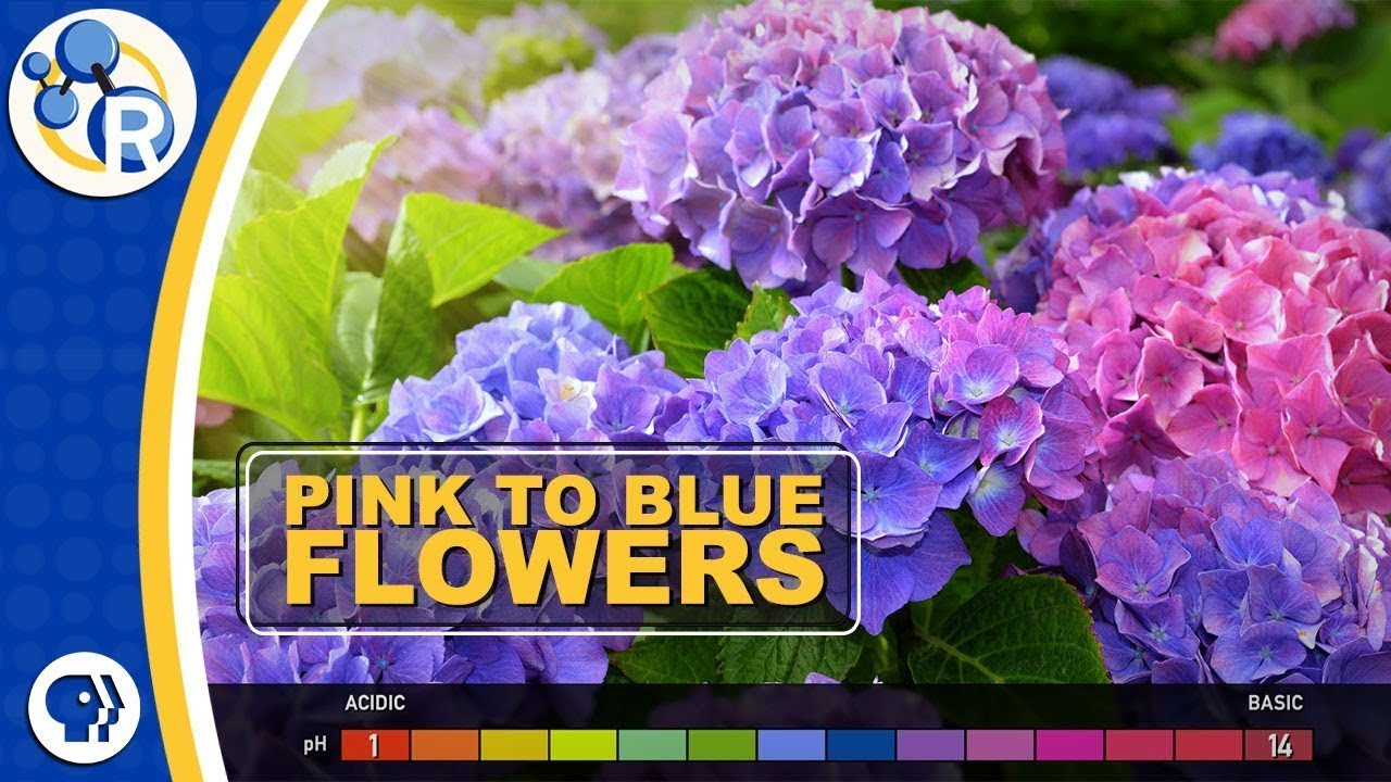 How Do Hydrangeas Change Colors Youtube