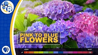 How Do Hydrangeas Change Colors?