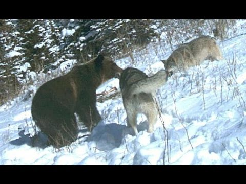 Grizzly Bears, Fighting Wolves In The Wild [Nature/Wildlife Documentary]