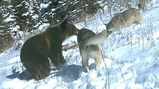 Grizzly Bears, Fighting Wolves In The Wild [Nature/Wildlife Documentary] thumbnail