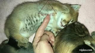 VIPLEO®. Размер кошек каракет ф1. Caracat.