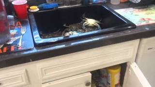 Psycho Crabs Go Crazy in the Sink