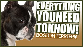 BOSTON TERRIER 101! Everything You Need To Know