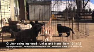 G Litter Imprinting Black German Shepherd Puppies.mov