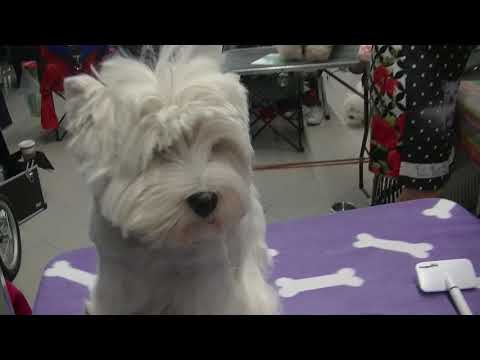 West Highland White Terrier Euro dog show 2018 in Warsaw
