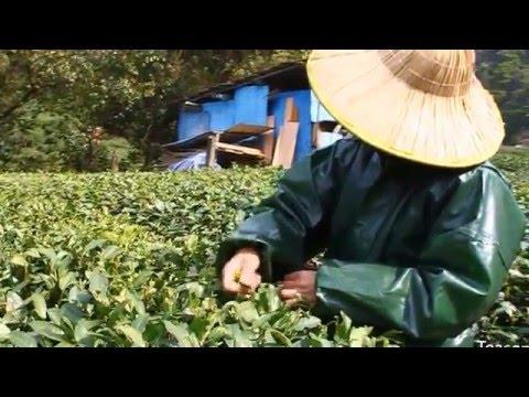 Longjing Tea Picking, Roasting & Processing - West Lake Dragon Well