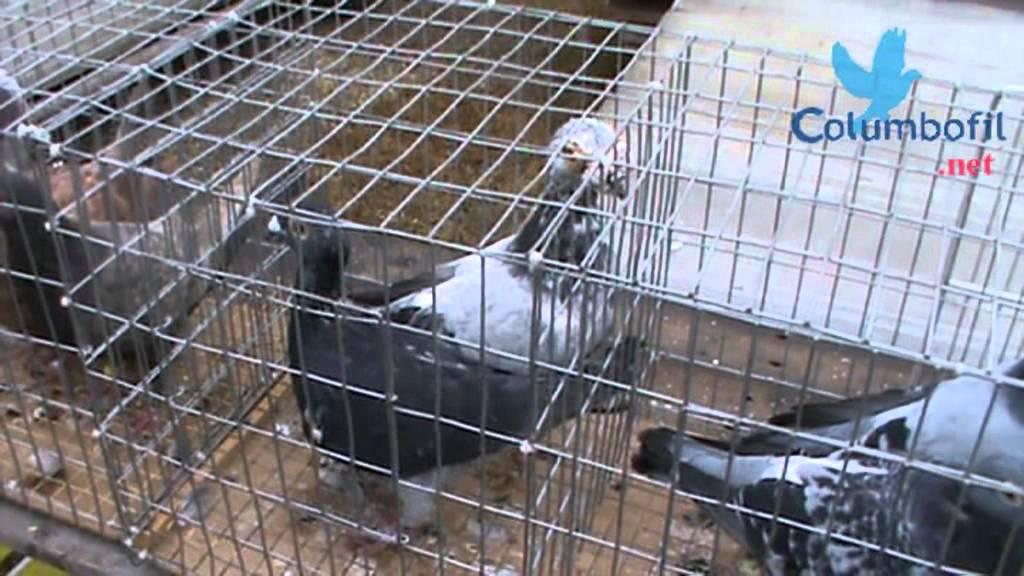 Expoziţie şi târg de porumbei la Şeica Mare ~ Monitorul de Mediaş
