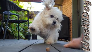 Dog Playing Rough Treat Game  Wookidog 4k Malshi Dog Video