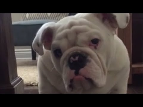 image for Adorable Bulldog Puppy Faces His Biggest Fear