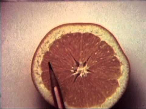 Anatomy Of Navel Orange