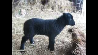 Black Welsh Mountain Sheep lamb frolics!