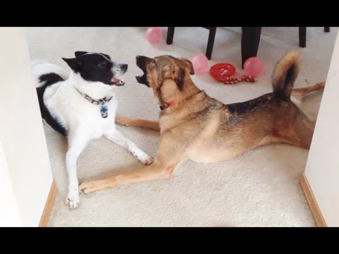 Belgian Malinois Mix and Karelian Bear Dog Mix Playing
