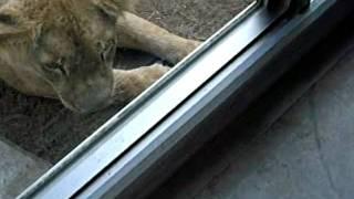 誰とでも仲良くなりたい愛犬(ぐぅ)はライオンの招きでも応えます。 パ...