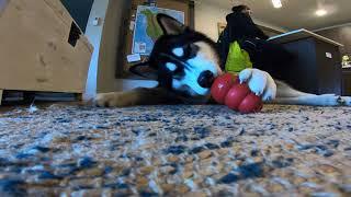 Reka Dog Peanut Butter KONG Ball TIME!!