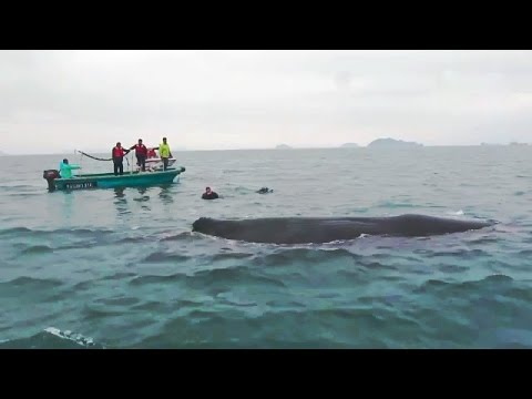 Sperm Whale AMAZING 'Thanks' When Freed From Nets !