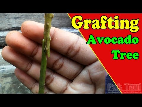 How To Grafting Avocado Trees By Grafting Examples