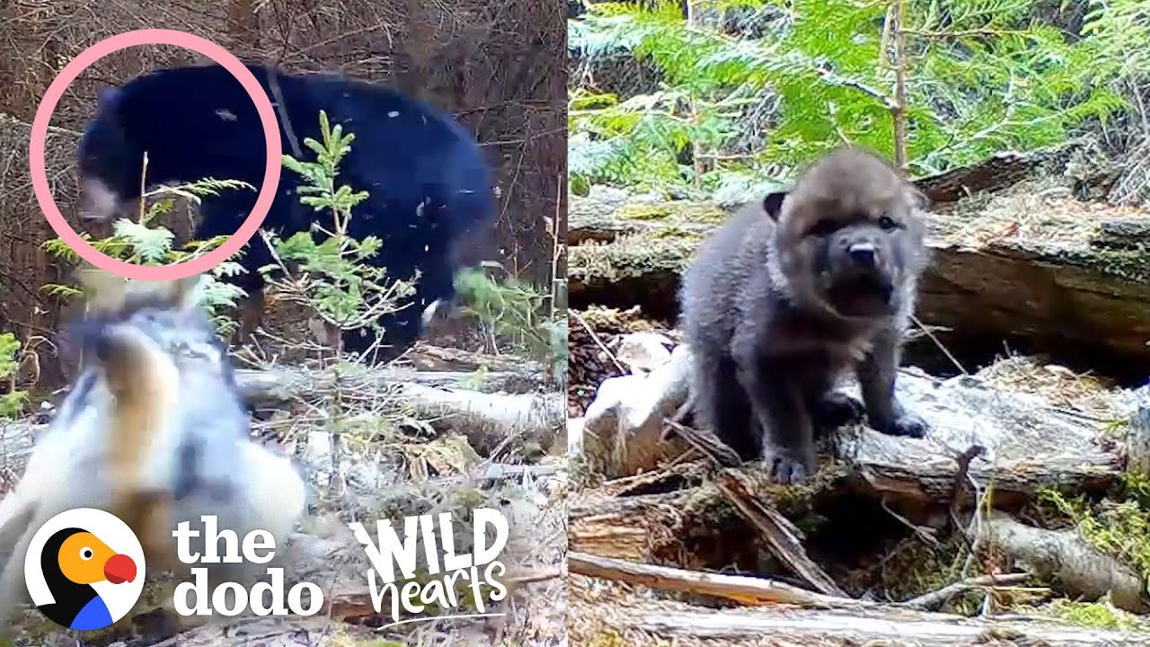 Tiniest Fuzzy Cubs Grow Up Into Gorgeous Wolves | The Dodo Wild Hearts