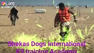 Shekas Dogs International All kinds of dogs training in chennai.pls.call 9884409869.9884009869.